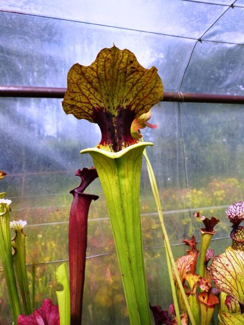 farnhamii hybride plante carnivore