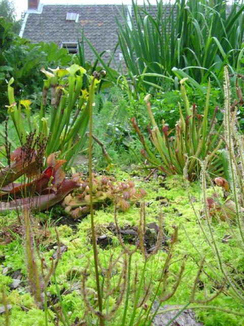 tourbieres d 39 amateurs de plantes carnivores. Black Bedroom Furniture Sets. Home Design Ideas